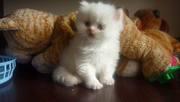 Продам котят шотландской вислоухой и белого хай-ленда