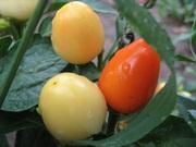 Семена перца комнатного сорта Мандаринка