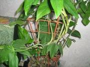 Черенки комнатного растения- Сингониум (лиана)