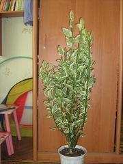 Продам в Николаеве черенки комнатного растения-Педилантуса
