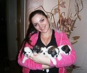 Ши-тцу,  очаровательные щенки!