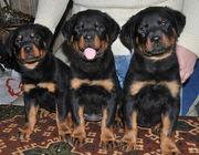 Продам щенков ротвейлера