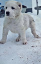 Предлагаем щенков САО от прекрасной пары.