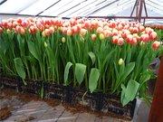 Продам тюльпаны оптом к 8 марта