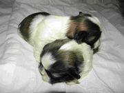 Очаровательные щенки ши-тцу