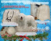 Продаю натуральную,  энергетически чистую шерсть южнорусской овчарки