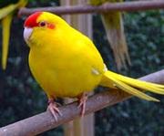 Попугаи кореллы и какарики